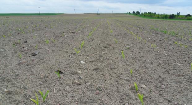Glifosat w odchwaszczaniu kukurydzy