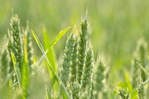 GUS: stan zasiewów zbóż ozimych - gorszy niż w ubiegłym roku