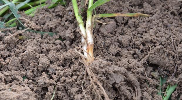 Fungicydy przeciwko chorobom podstawy źdźbła zbóż w terminie T-1