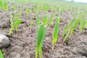 W fazie pierwszego liścia jest jęczmień jary siany na początku kwietnia; Fot. A. Kobus