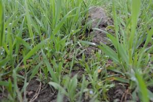 Herbicydy do 2-go kolanka zbóż