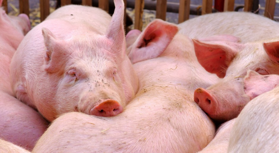 Ukraina: Redukcja pogłowia świń i bydła będzie kontynuowana