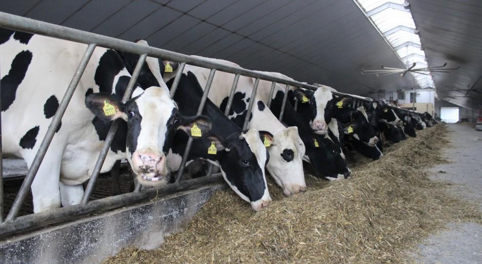 Jak żywienie wpływa na dobrostan krów?