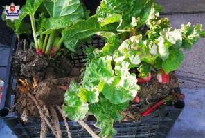 Złodzieje wykopali z plantacji ekologiczny rabarbar