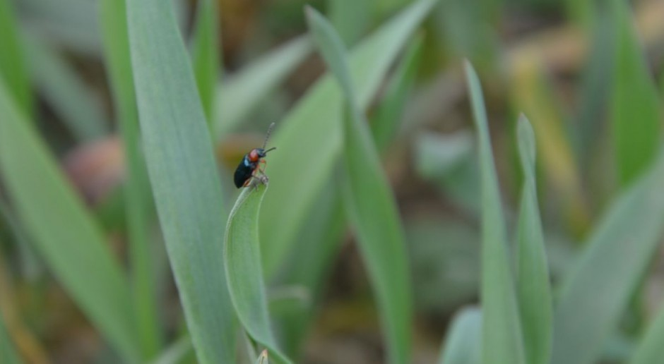 Mszyce i skrzypionki w pszenicy