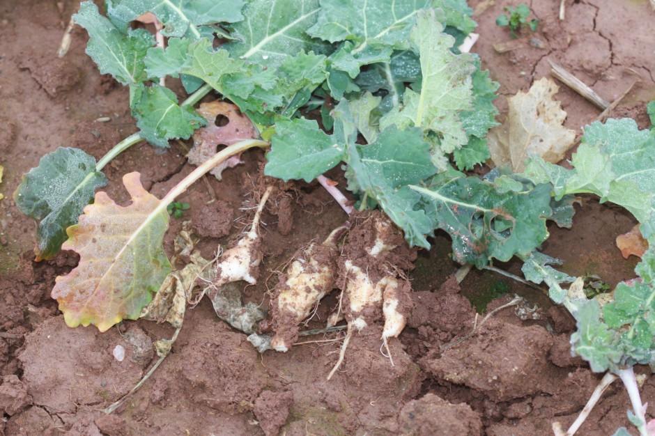 Jak ograniczyć występowanie kiły kapusty?