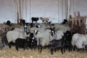 W gospodarstwie utrzymywanych jest również ok. 1400 szt. owiec