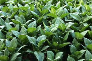 Producenci tytoniu: Potrzebna repolonizacja przetwórstwa