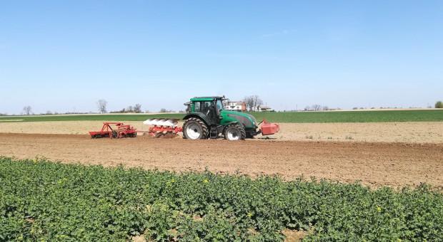 Rzepaki nadal likwidowane, ich miejsce zajmie kukurydza