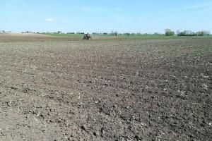 Likwidowane obecnie rzepaki osiągnęły już fazę zielonego pąka. Fot. A.Kobus