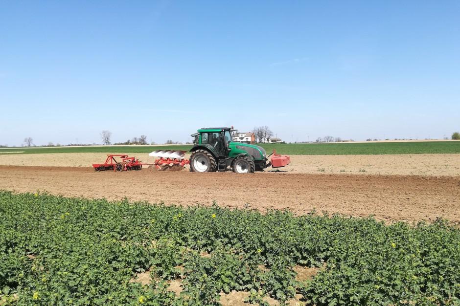 Nadal padają decyzję o likwidacji kolejnych plantacji rzepaku ozimego; Fot. A.Kobus