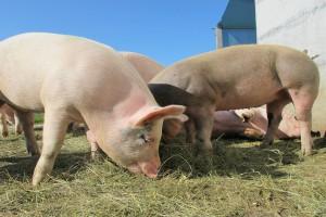 Prognozy produkcji świń w UE nadal na wysokim poziomie