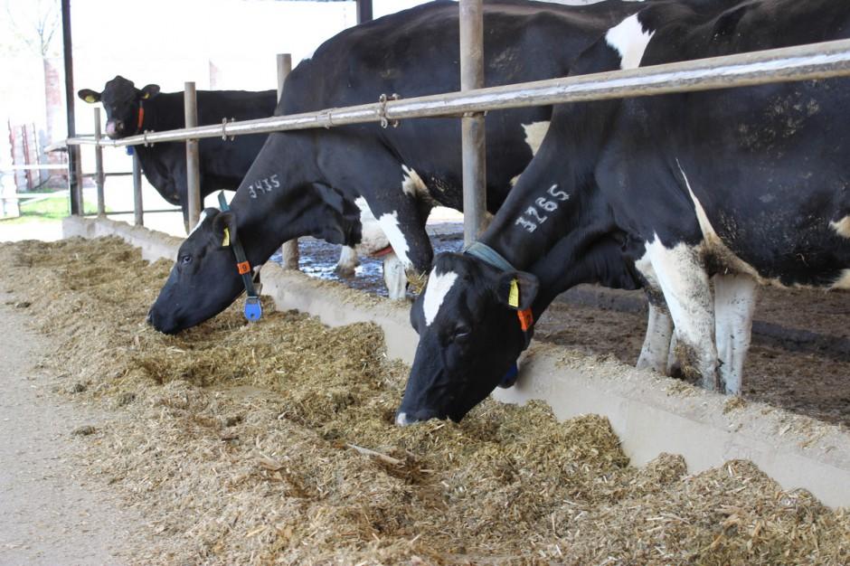 Czynniki wpływające na pobranie paszy przez krowy