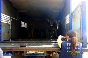 W jednej ze skontrolowanych ciężarówek ładownia nie została właściwie dostosowana do ilości transportowanych zwierząt.