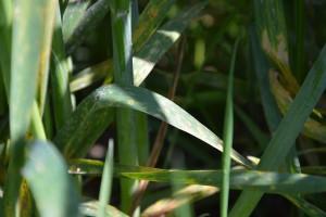 Rdza brunatna i mączniak prawdziwy zbóż i traw; Fot. Katarzyna szulc