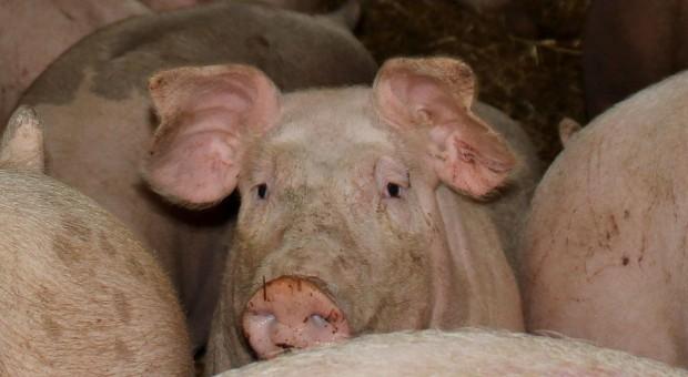 Świnie ubijane młotkiem. Obrońcy zwierząt zawiadomili prokuraturę
