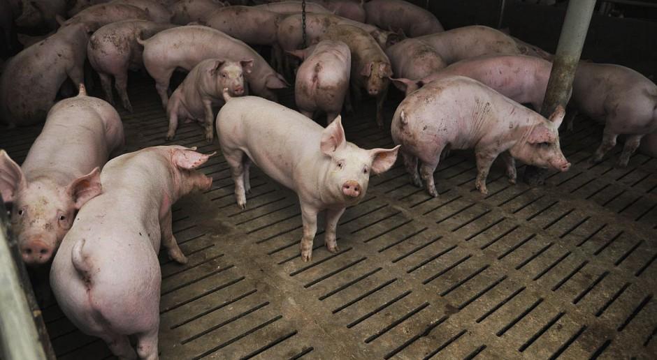Niemcy: ceny świń na stabilnym poziomie