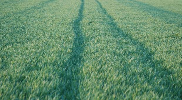 Żyto hybrydowe – dobra alternatywa dla słabych gleb?