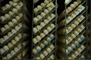 GIS ostrzega przed bakteriami w jajach spożywczych