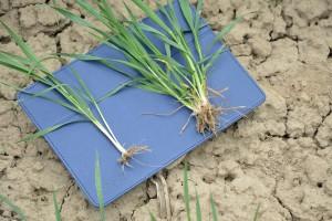 Krzewienie roślin wysianych agregatem do strip tillu (po lewej stronie) i Terrasemem Wave Disc (po prawej stronie)