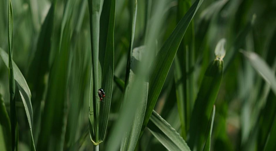 Przygotuj się na T2 i atak szkodników w pszenicy ozimej