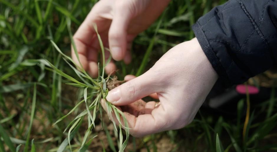 Nie zwlekaj dłużej z odchwaszczaniem pszenicy ozimej