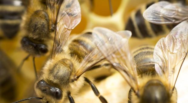 Ognisko zgnilca amerykańskiego pszczół stwierdzono w wielkopolskiej pasiece