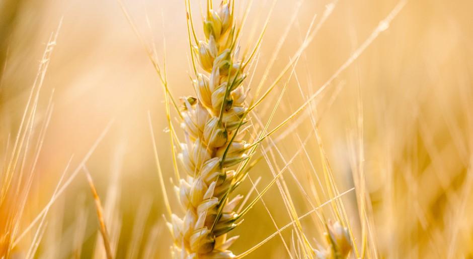Cena pszenicy w USA ponownie mocno wzrosła