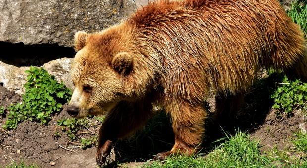 Na Podkarpaciu żyje 90 proc. polskich niedźwiedzi