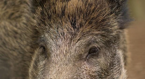 GIW: ponad 50 nowych przypadków afrykańskiego pomoru świń