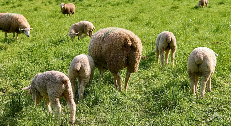 W Bieszczadach i Beskidzie Niskim zakończył się redyk owiec