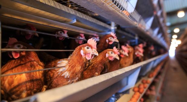 Ruszyła kampania na rzecz poprawy warunków hodowli kurczaków