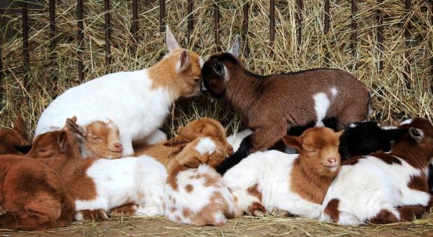 PE: Większa pomoc dla hodowców owiec i kóz