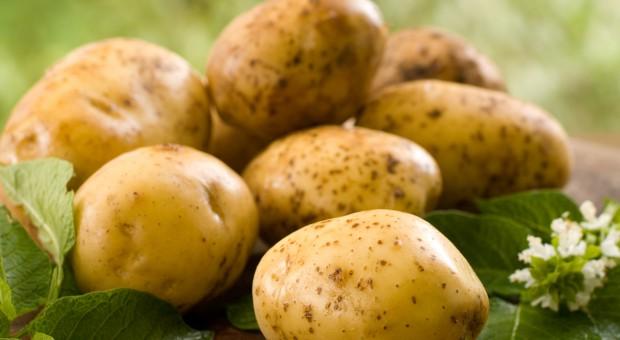 Wolą importować ziemniaka z zagranicy?