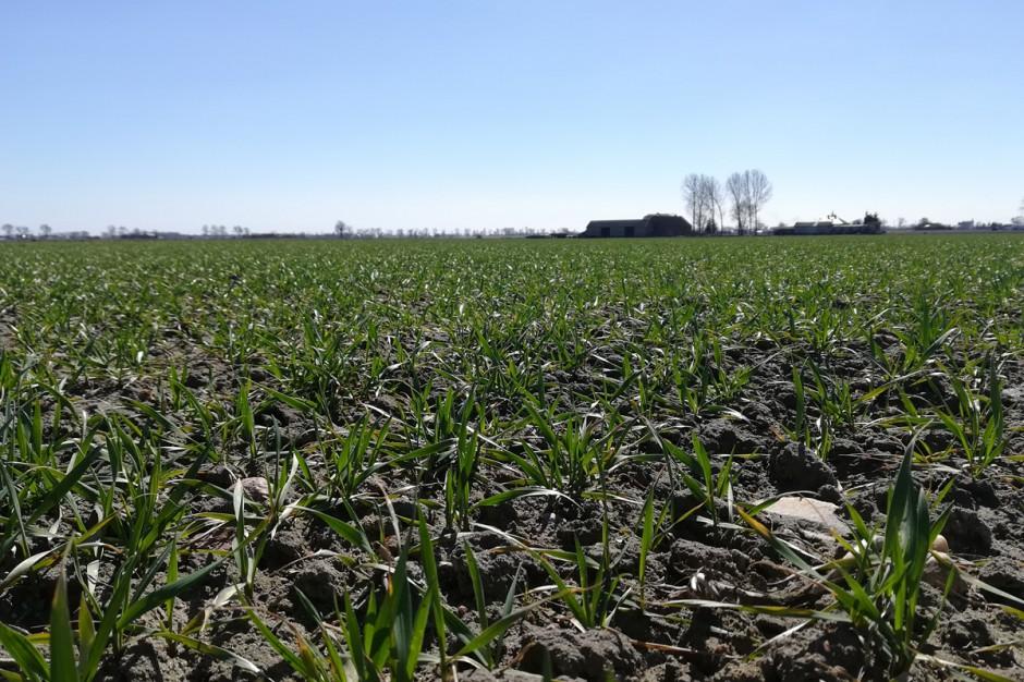 Nieco opóźniony siew, następnie mokra jesień i trudne przedwiośnie sprawiły, że rośliny miały trudny start na wiosnę