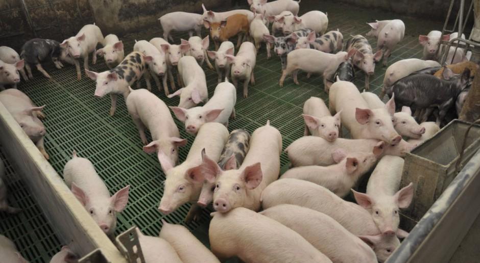 Pogłowie świń rośnie, a import prosiąt bije kolejne rekordy