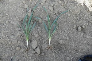 Pszenica jara 3-4 rozkrzewienia