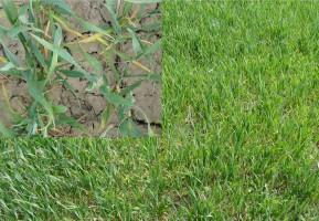 Reakcja stresowa pszenicy ozimej na suszę - przebarwienia koncowek lisci oraz zwinięte liscie