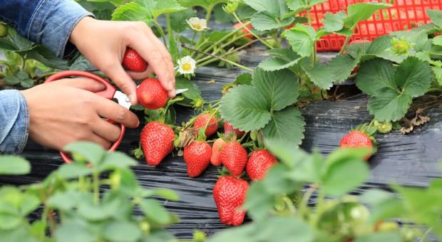 Ten rok był wyjątkowo nieudany dla producentów truskawek