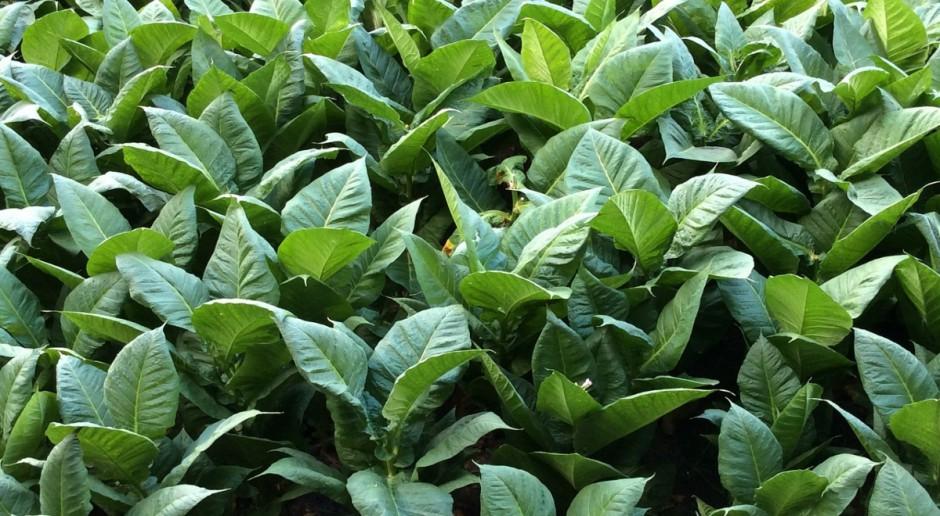 KOWR: Wnioski o rejestrację producentów tytoniu