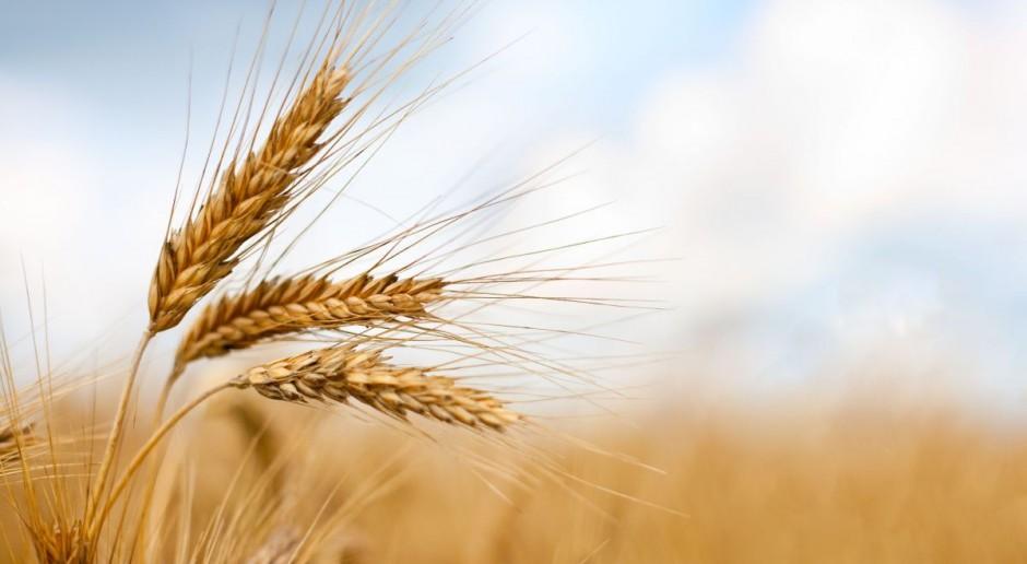 Korekta notowań zbóż