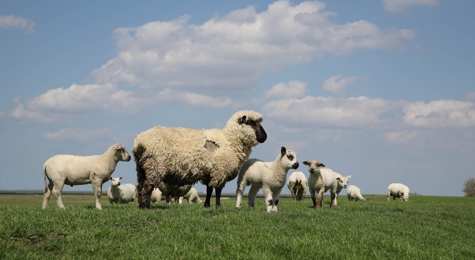 UE: Droższe owce ciężkie, tańsze jagnięta