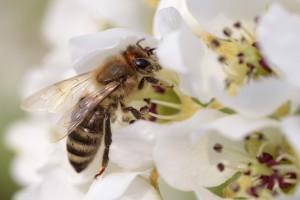 20 maja - Światowy Dzień Pszczół