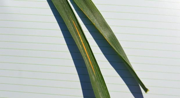 Fungicydy przeciwko rdzy żółtej w pszenicy ozimej