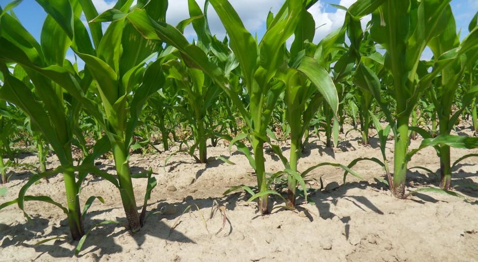 Nie opóźniać nawożenia kukurydzy azotem