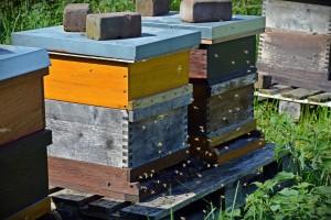 Pszczoły z mikroczipem