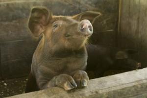 Można wnioskować o kolejne transze odszkodowań za nieutrzymywanie świń