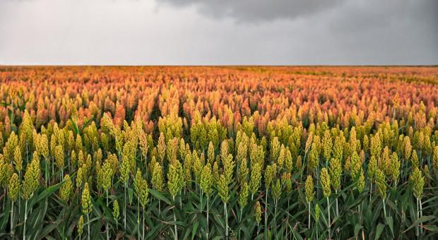 Niemcy: Rośnie areał uprawy sorgo