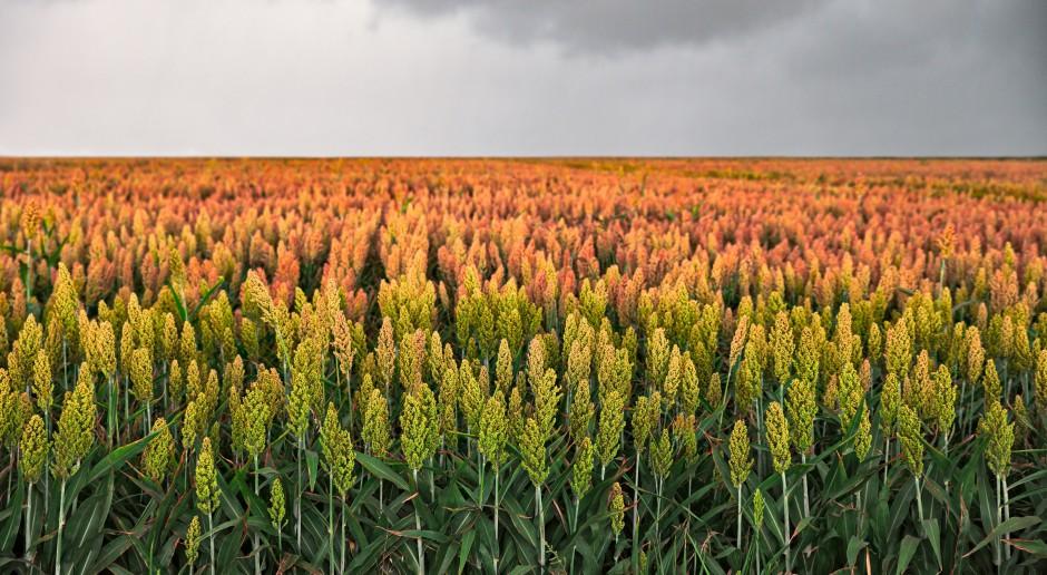 KSG Agro - sorgo zamiast kukurydzy