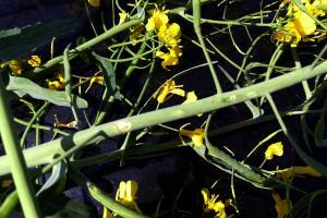 Grad w rzepaku potrafi pokaleczyć zielone części rośliny. Takie uszkodzenia sprzyjają wnikaniu patogenów grzybowych; Fot. A. Kobus